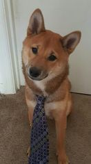 Shiba Inu Puppy for sale in PONTE VEDRA BEACH, FL, USA