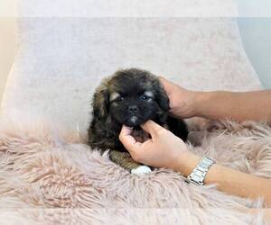 Shinese Mix Puppy for Sale in FULLERTON, California USA