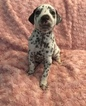 Dalmatian Puppy For Sale in ALAFAYA, FL, USA
