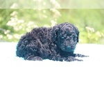 Small #30 Poodle (Standard)