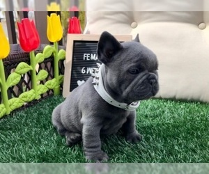 French Bulldog Puppy for sale in RIVERSIDE, CA, USA