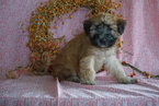 AKC Soft Coated Wheaten Terrier For Sale