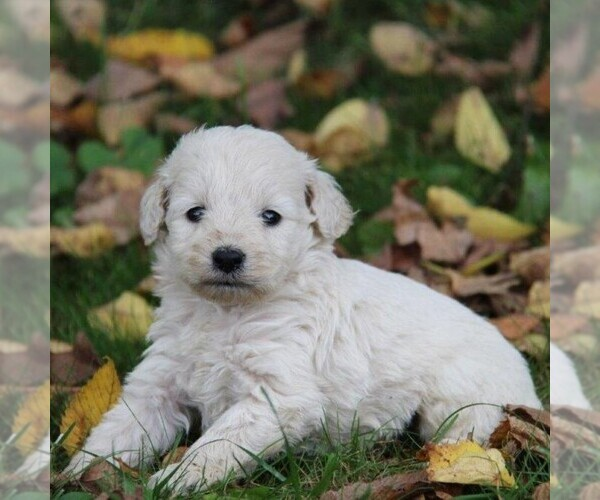 Medium Photo #1 Goldendoodle-Poodle (Miniature) Mix Puppy For Sale in STANLEY, WI, USA