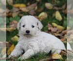 Small Photo #1 Goldendoodle-Poodle (Miniature) Mix Puppy For Sale in STANLEY, WI, USA