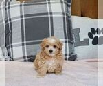 Puppy 2 Maltipoo-Poodle (Miniature) Mix