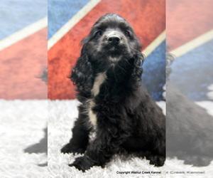 Cocker Spaniel Puppy for sale in CRETE, NE, USA