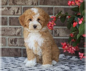 Poodle (Miniature) Puppy for sale in FREDERICKSBG, OH, USA