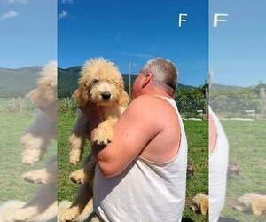 Goldendoodle Puppy for Sale in BIG ISLAND, Virginia USA