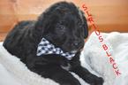 Puppy 7 Golden Mountain Dog