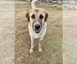 Anatolian Shepherd Puppy for sale in MELROSE, FL, USA