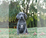 Puppy 4 Great Dane