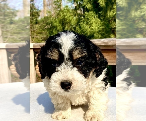 Medium Photo #2 Bernedoodle Puppy For Sale in CHATHAM, PA, USA
