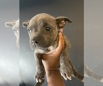 Small #5 American Bully