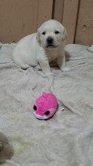 Labrador Retriever Puppy For Sale near 80470, Pine, CO, USA