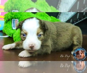 Miniature Australian Shepherd Puppy for sale in GRANBURY, TX, USA