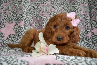 View Ad Irish Setter Poodle Miniature