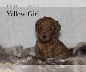 Poodle (Standard) Puppy for sale in BRANDON, MI, USA