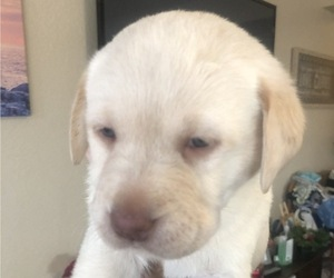Labrador Retriever Puppy for sale in FRESNO, CA, USA