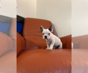 French Bulldog Puppy for sale in VIRGINIA BCH, VA, USA