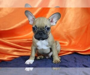 French Bulldog Puppy for Sale in ATHERTON, California USA