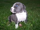 American Pit Bull Terrier Puppy For Sale in QUINCY, MI, USA