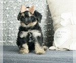 Puppy 8 Poodle (Toy)-Yorkshire Terrier Mix
