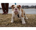 English Bulldog Puppy For Sale in HOBART, IN, USA
