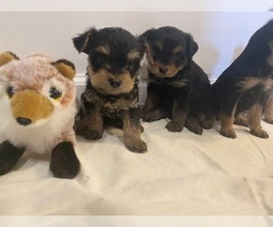 Yorkshire Terrier Puppy for sale in BLACK FOREST, CO, USA