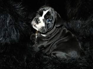 English Bulldog Puppy For Sale in LONGVIEW, TX, USA