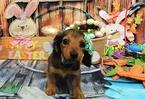 Dachshund Puppy For Sale in CHICAGO, IL, USA