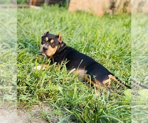 American Bully Puppy for sale in DETROIT, MI, USA