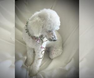 Poodle (Miniature) Puppy for sale in SAFFORD, AZ, USA