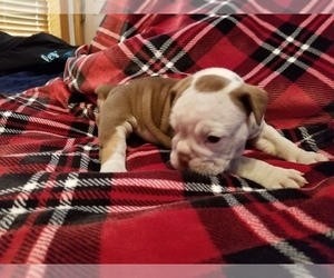 Olde English Bulldogge Puppy for sale in FREDERICKTOWN, OH, USA