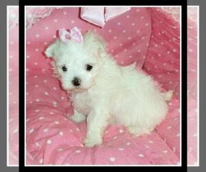 Maltese Puppy for Sale in GROVE CITY, Pennsylvania USA