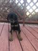 Doberman Pinscher Puppy For Sale in CEDAR CREST, NM, USA