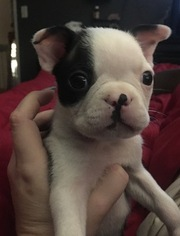 Boston Terrier Dog For Adoption in PORTLAND, OR, USA