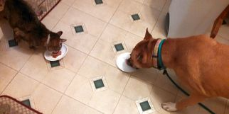Brownie Boxer - Boxer / Shepherd / Mixed (short coat) Dog For Adoption