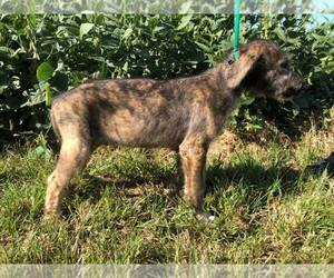 Irish Wolfhound Puppy for Sale in PARK CITY, Kentucky USA