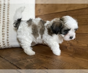 Maltipoo Puppy for sale in LITHIA, FL, USA