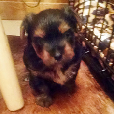 Yorkshire Terrier Puppy For Sale in STEPHENVILLE, TX