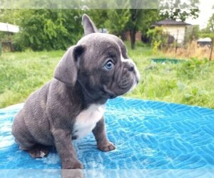 Medium French Bulldog