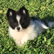 Pomeranian Puppy For Sale in FORT LAUDERDALE, FL, USA