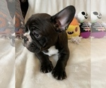 Small #9 French Bulldog