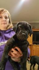 Mastador Puppy For Sale in WHITES CREEK, TN, USA