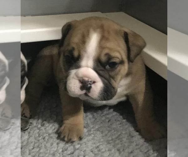 Medium Photo #10 Bulldog Puppy For Sale in OAK RIDGE N, TX, USA