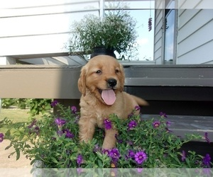 Golden Retriever Puppy for sale in SUGARCREEK, OH, USA