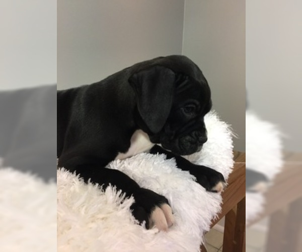 Medium Photo #4 Boxer Puppy For Sale in MILLERSBURG, OH, USA