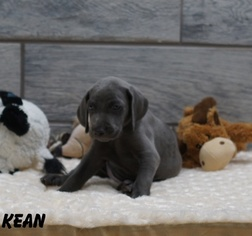 Weimaraner Puppy For Sale in OGDEN, UT, USA