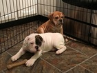 Olde English Bulldogge Puppy For Sale in ONEIDA, IL,