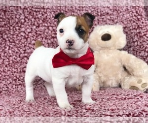 Jack Russell Terrier Puppy for sale in CLAY, PA, USA